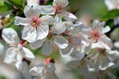 Holzapfelbaum in voller Bl?te Alle Niederlassungen werden mit den Knospen und den frischen wei?en und rosa Blumen gestreut Freude lizenzfreie stockbilder