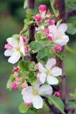 Holzapfelbaum in voller Bl?te Alle Niederlassungen werden mit den Knospen und den frischen wei?en und rosa Blumen gestreut Freude lizenzfreie stockfotos