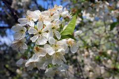 Holzapfelbaum in voller Bl?te Alle Niederlassungen werden mit den Knospen und den frischen wei?en und rosa Blumen gestreut Freude stockbilder