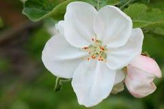 Holzapfelbaum in voller Bl?te Alle Niederlassungen werden mit den Knospen und den frischen wei?en und rosa Blumen gestreut Freude stockfotografie