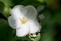 Holzapfelbaum in voller Bl?te Alle Niederlassungen werden mit den Knospen und den frischen wei?en und rosa Blumen gestreut Freude stockbild