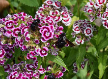 Holzbiene und Blume Stockfoto