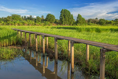 Holzbrücke mit 100 Jährigen zwischen Reisfeld bei Nakhon Ratchasi Lizenzfreie Stockfotografie