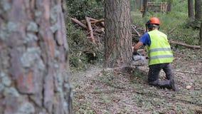 Holzfällerblockwindenarbeitskraft im Schutzausrüstungsausschnittbrennholz-Bauholzbaum im Wald mit Kettensäge stock video
