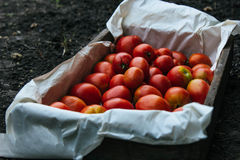 Holzkiste mit gerade ausgewählten Tomaten lizenzfreies stockfoto