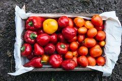 Holzkiste mit gerade ausgewählten Tomaten und pappers lizenzfreie stockbilder