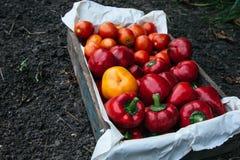 Holzkiste mit gerade ausgewählten Tomaten und pappers lizenzfreie stockfotografie