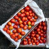 Holzkisten mit gerade ausgewählten Tomaten lizenzfreie stockfotografie