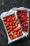 Holzkisten mit gerade ausgewählten Tomaten stockbild