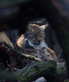 Holzwald Linx-Merkmal Å umava wild lebender Tiere lizenzfreie stockfotografie