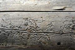 Holzwurm Royaltyfri Bild