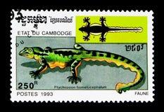 Homalocephalum Ptychozoon гекконовых летания, serie животных, около 1993 Стоковое фото RF