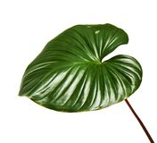 Homalomena foliage, Green leaf with red petioles isolated on white background, with clipping path. Homalomena foliage, Green leaf with red petioles isolated on Royalty Free Stock Images