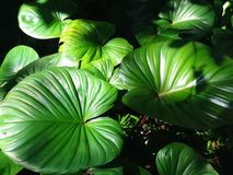 Homalomena rubescens or King of Heart is a herbaceous plant. Stock Image