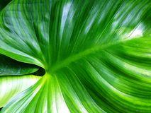 Homalomena rubescens or King of Heart is a herbaceous plant. Royalty Free Stock Photography