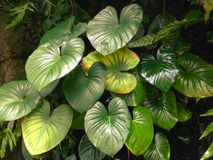 Homalomena rubescens or King of Heart is a herbaceous plant. Royalty Free Stock Image