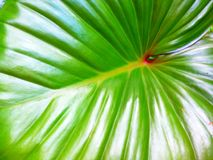 Homalomena rubescens or King of Heart is a herbaceous plant. Royalty Free Stock Photo