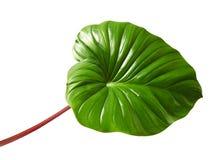 Homalomena ulistnienie, Zielony liść z czerwonymi szypułkami odizolowywać na białym tle z ścinek ścieżką, fotografia royalty free