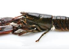 homar surowy Obraz Royalty Free