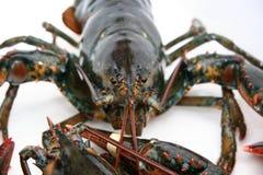homara żywego Zdjęcia Royalty Free