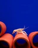 Homard blanc dans un réservoir bleu avec les tubes rouges Photographie stock libre de droits
