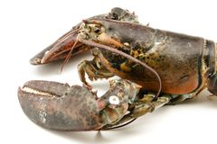 Homard cru Photo stock