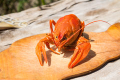 Homard cuit sur un hachoir en bois Contre le backgroun Photographie stock