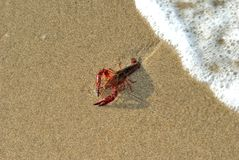 Homard griffé vivant sur une plage Images libres de droits