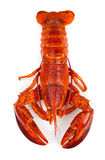 Homard rouge Images stock