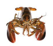 homarus amerykański homar fotografia stock