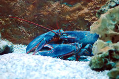 Homarus gammarus Royalty Free Stock Images