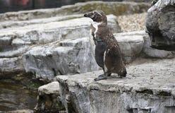 Homboldt Penguin Stock Photos