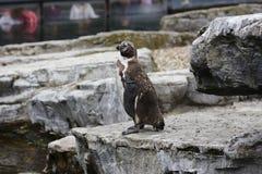 Homboldt Penguin Royalty Free Stock Images