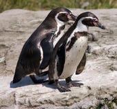 Homboldt Pinguine Stockbilder