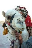 Hombre árabe que sostiene un camello las rienda en Egipto imagenes de archivo