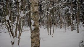 Hombre caucásico que camina con el invierno Nevado Forest With Trekking Poles In almacen de metraje de vídeo