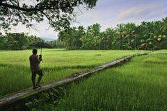Hombre con el paraguas que camina a través de campo de arroz verde Imágenes de archivo libres de regalías