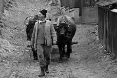 Hombre con los bueyes que trabajan en un pequeño pueblo en Rumania Fotografía de archivo