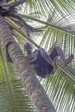 Hombre con los pies desnudos que suben la palmera del coco Imágenes de archivo libres de regalías