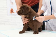 Hombre con su veterinario que visita del animal doméstico Doc. que examina el perrito de Labrador imágenes de archivo libres de regalías