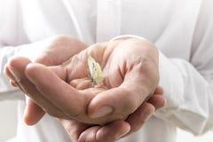 Hombre de negocios Bare Hands con el pequeño insecto de la mariposa Imágenes de archivo libres de regalías