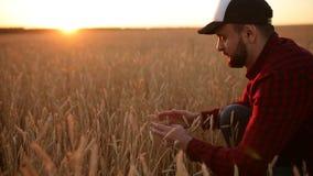 Hombre del agrónomo que sostiene los oídos del trigo cerca de su cara y nariz en campo de trigo de oro El granjero feliz huele su almacen de video