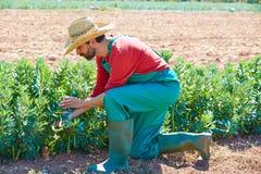 Hombre del granjero que cosecha las habas de Lima en huerta Imágenes de archivo libres de regalías