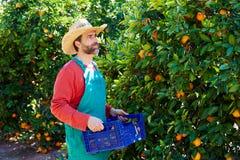 Hombre del granjero que cosecha naranjas en un árbol anaranjado Imagenes de archivo