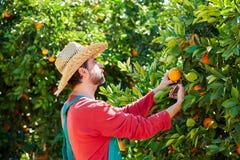 Hombre del granjero que cosecha naranjas en un árbol anaranjado Fotos de archivo libres de regalías