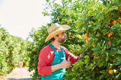 Hombre del granjero que cosecha naranjas en un árbol anaranjado Fotos de archivo