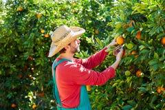 Hombre del granjero que cosecha naranjas en un árbol anaranjado Imagen de archivo