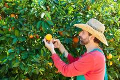 Hombre del granjero que cosecha naranjas en un árbol anaranjado Foto de archivo