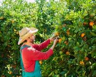Hombre del granjero que cosecha naranjas en un árbol anaranjado Imágenes de archivo libres de regalías