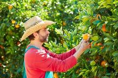 Hombre del granjero que cosecha naranjas en un árbol anaranjado Foto de archivo libre de regalías